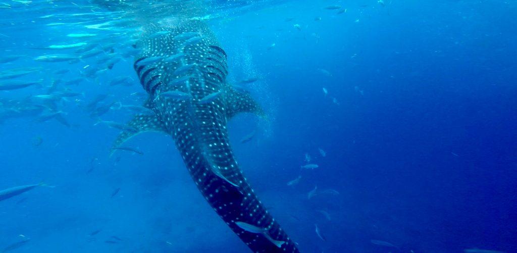 Whaleshark Watching Oslob, Cebu, Philippinen