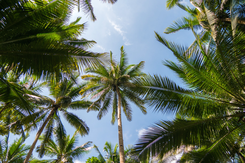 Palmen auf dem Weg zu den Kawasan Falls, Cebu, Philippinen