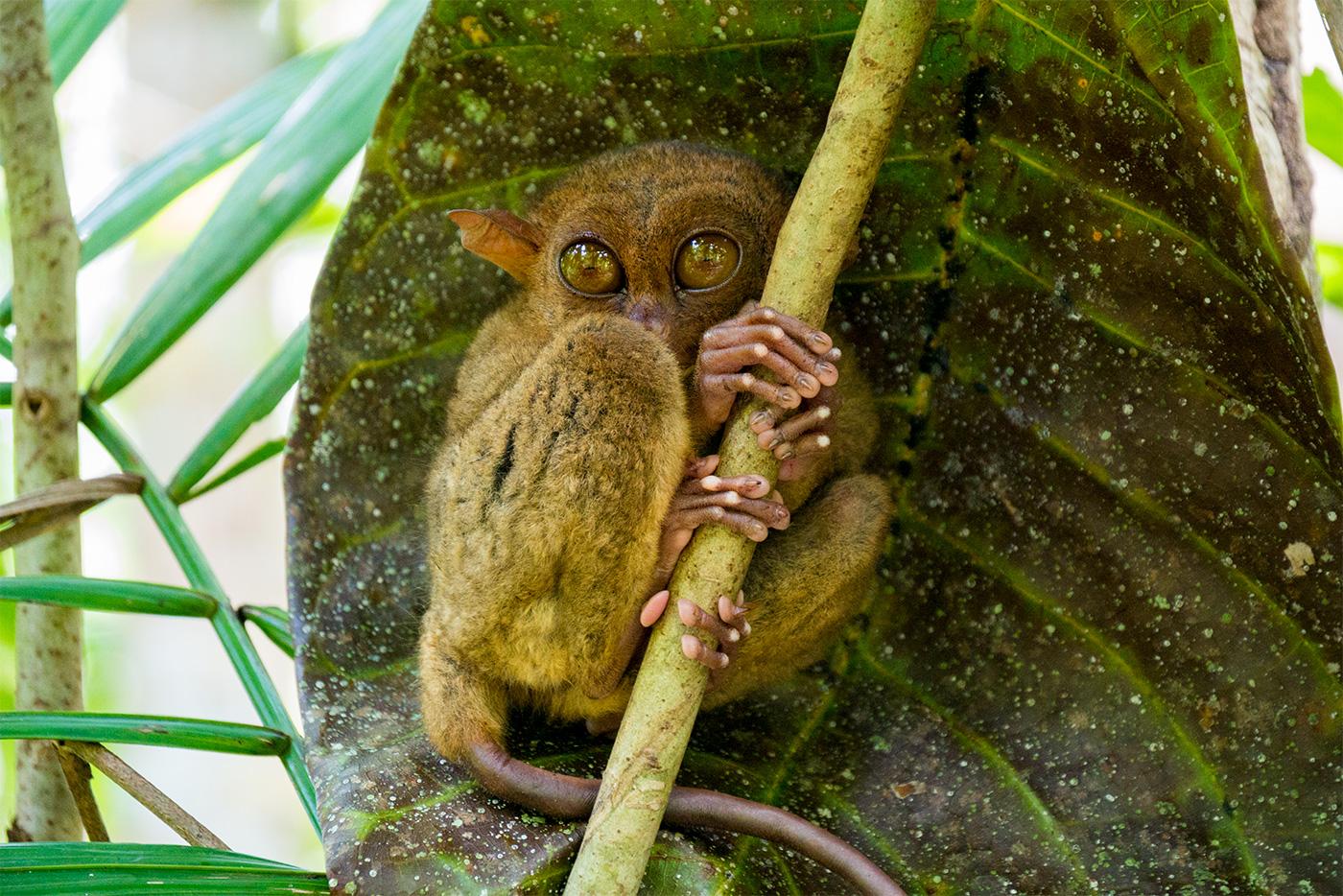 Die süßen philippinischen Koboldmakis auf Bohol