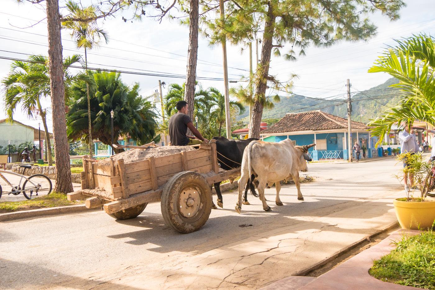 Büffel auf Vinales' Straßen