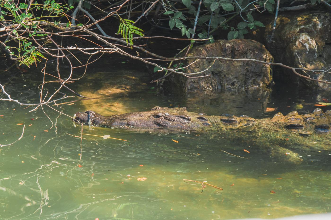 Krokodil im Fluss des Canyon Sumidero in Chiapas
