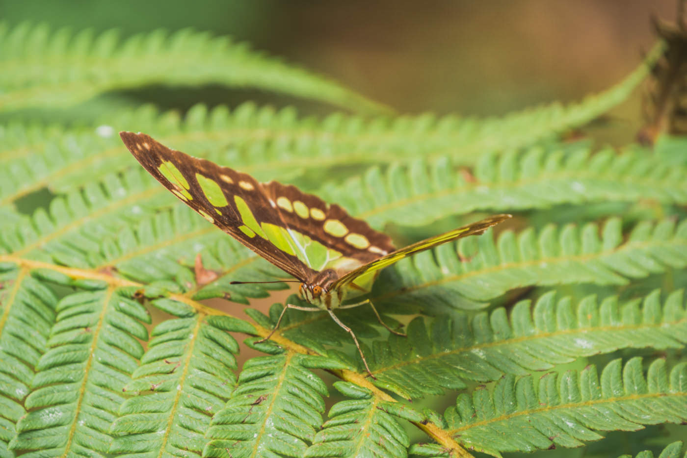 Schmetterling im Nationalpark Semuc Champey