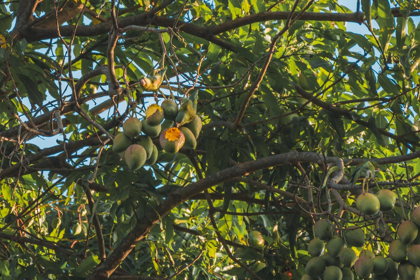 Vögel im Mangobaum in Nicaragua
