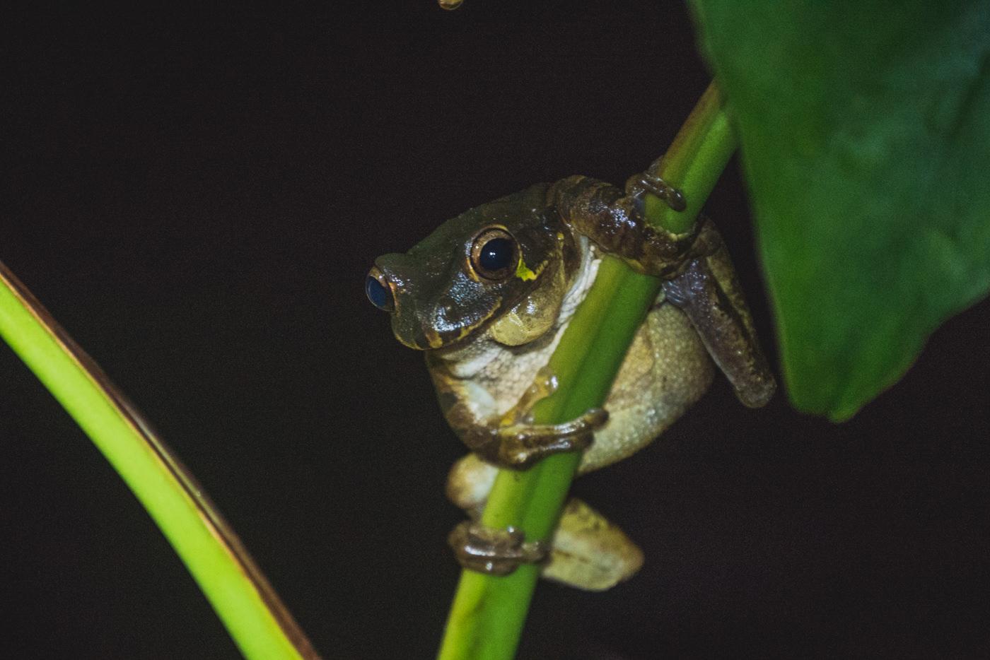 Frosch während der Nachtwanderung im Cahuita Nationalpark