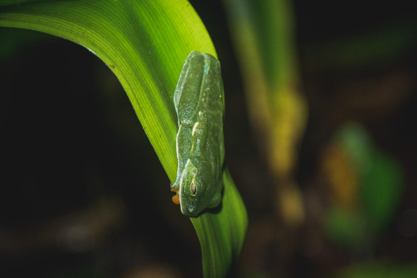 Grüner Frosch während der Nachtwanderung im Cahuita Nationalpark