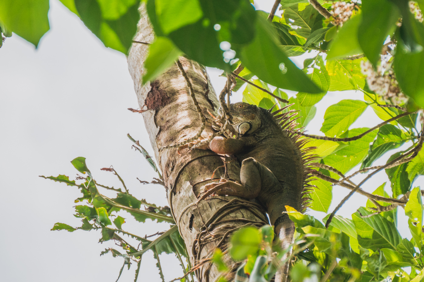 Echse im Cahuita Nationalpark