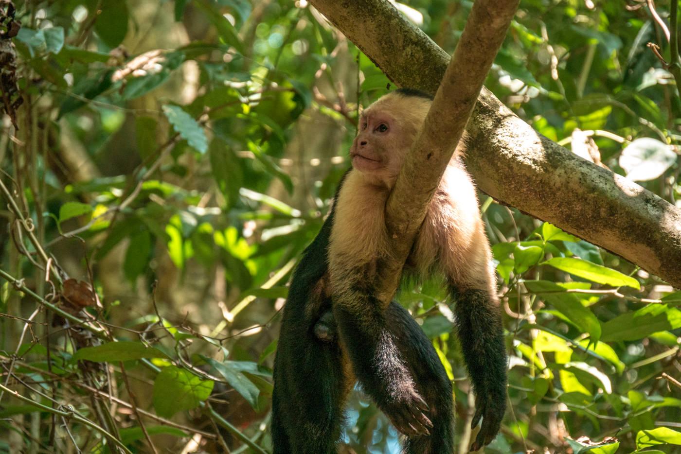 Kapuzineraffe im Manuel Antonio Nationalpark