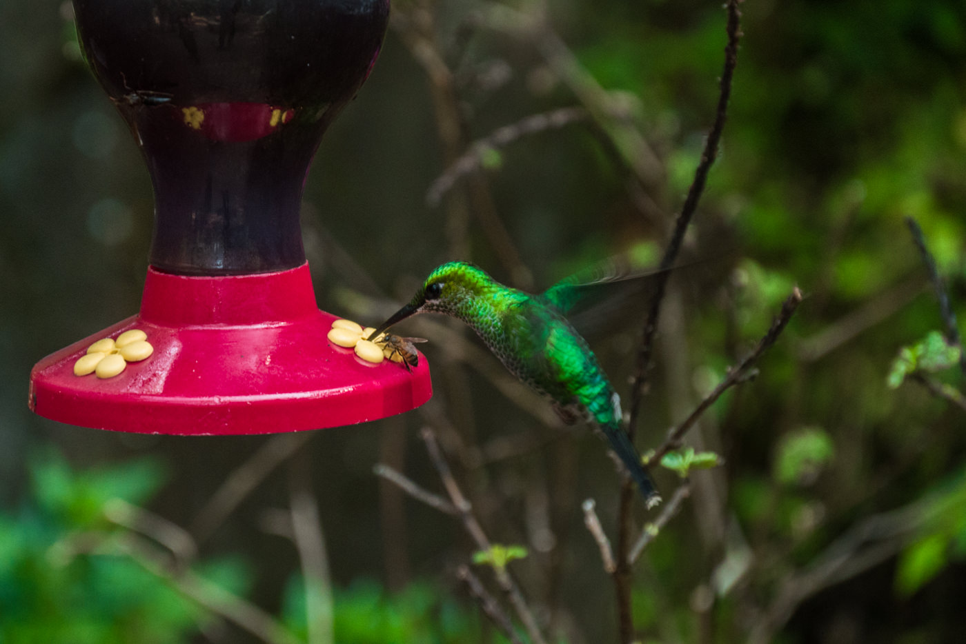 Kolibri im Nationalpark Monteverde