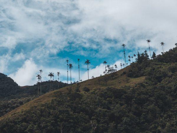 Blick auf die Wachspalmen im Valle de Cocora