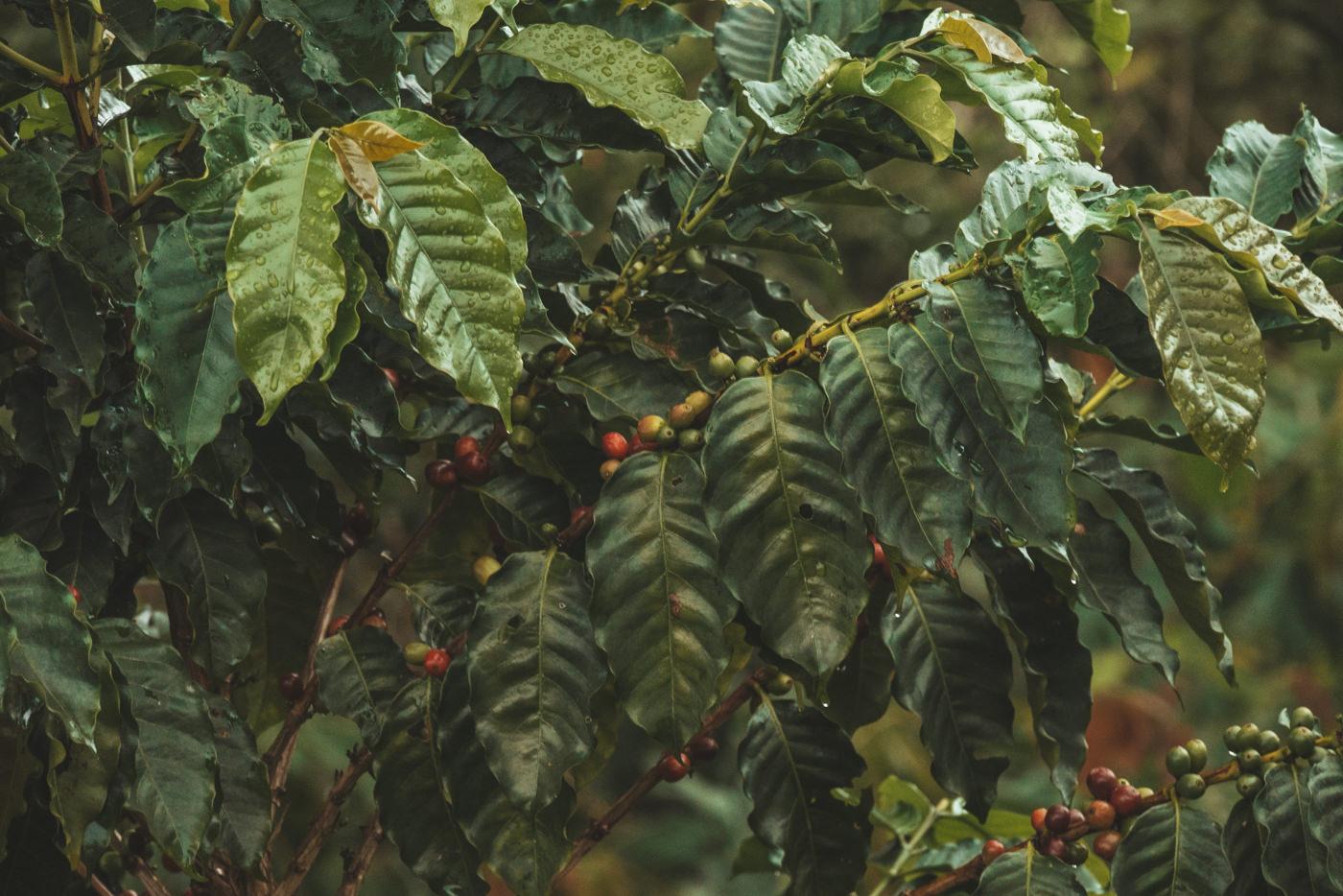 Kaffeebohnen auf einer Farm bei Minca