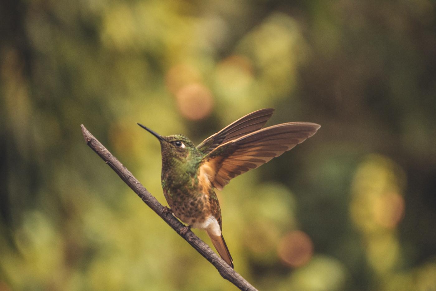 Ein Kolibri im Valle de Cocora