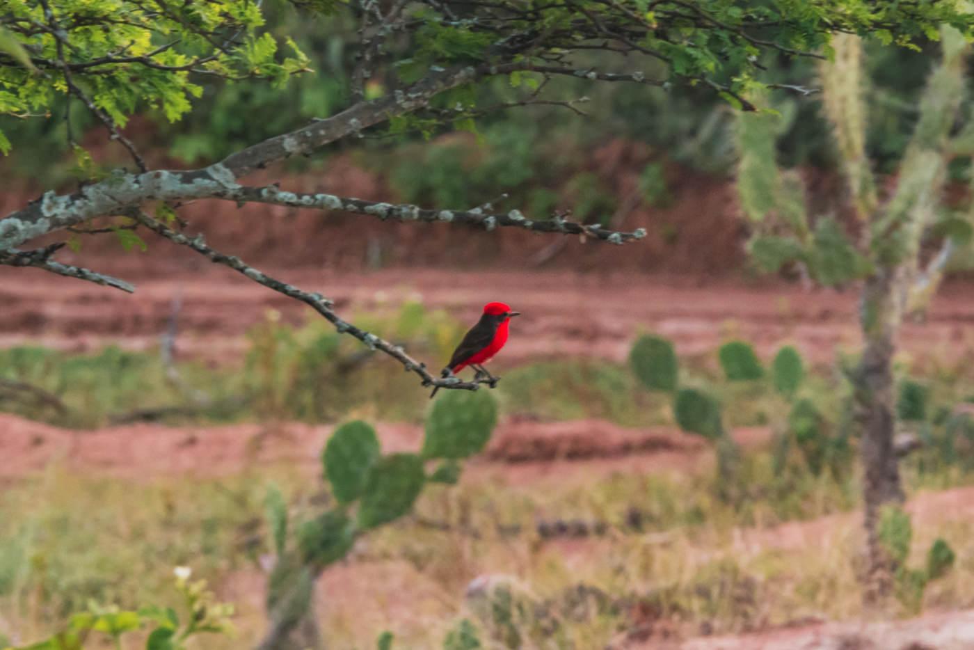 Ein Roter Vogel in der Tatacoa Wüste, Kolumbien