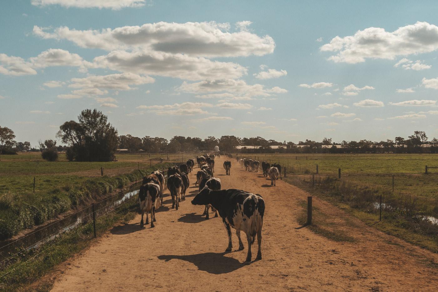 Kühe werden eingetrieben und zur Melkanlage gebracht