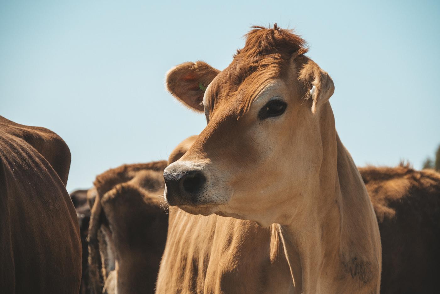Milchkuh auf der Farm