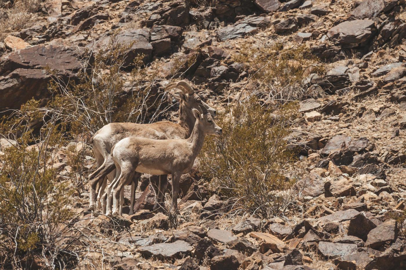 Tiere in der Wüste von Nevada