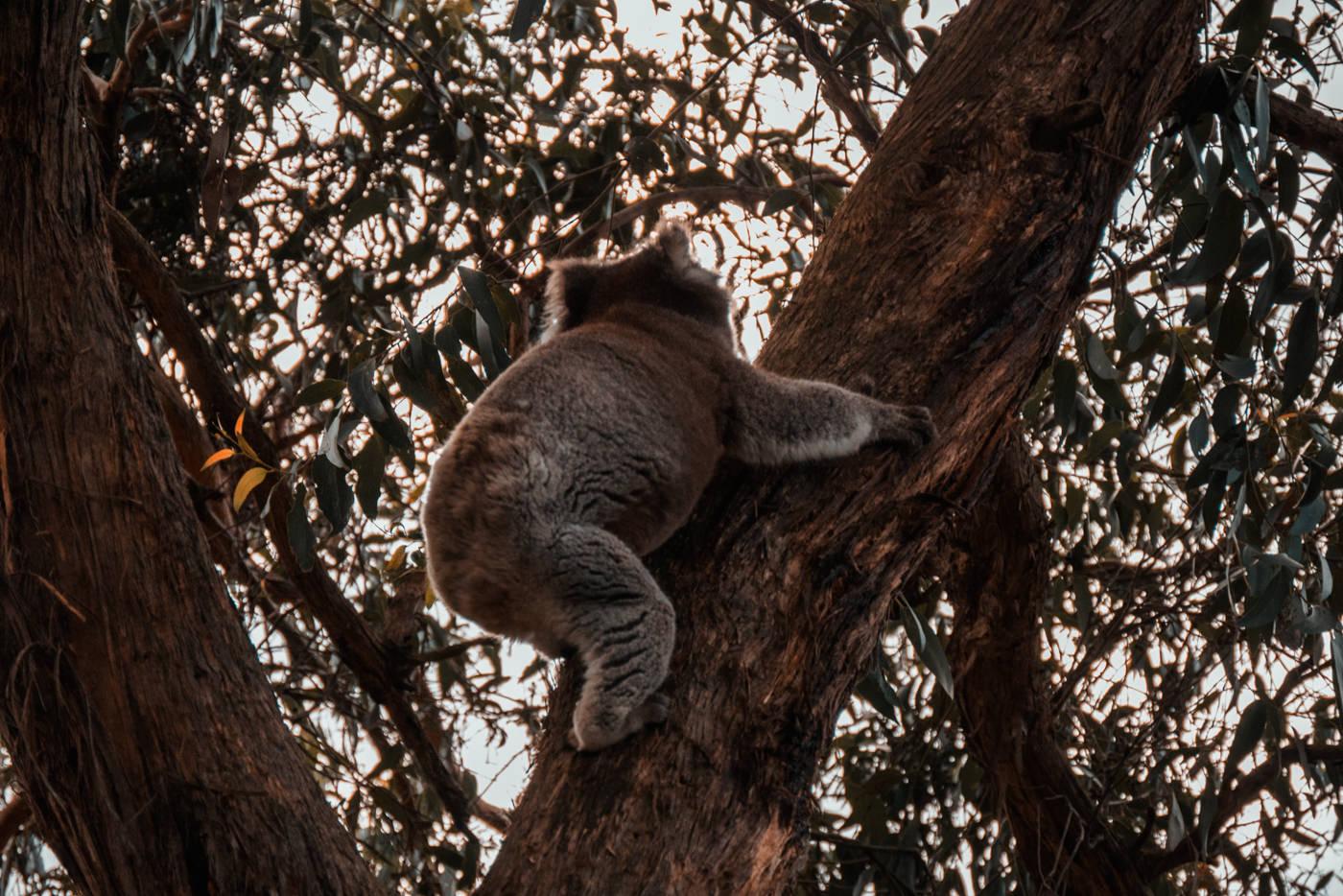 Koala im Baum am Blanket Bay
