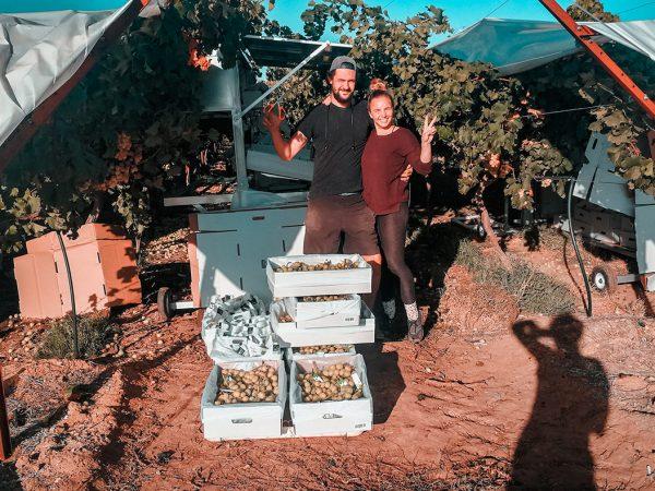 Wir pflücken Weintrauben in Australien