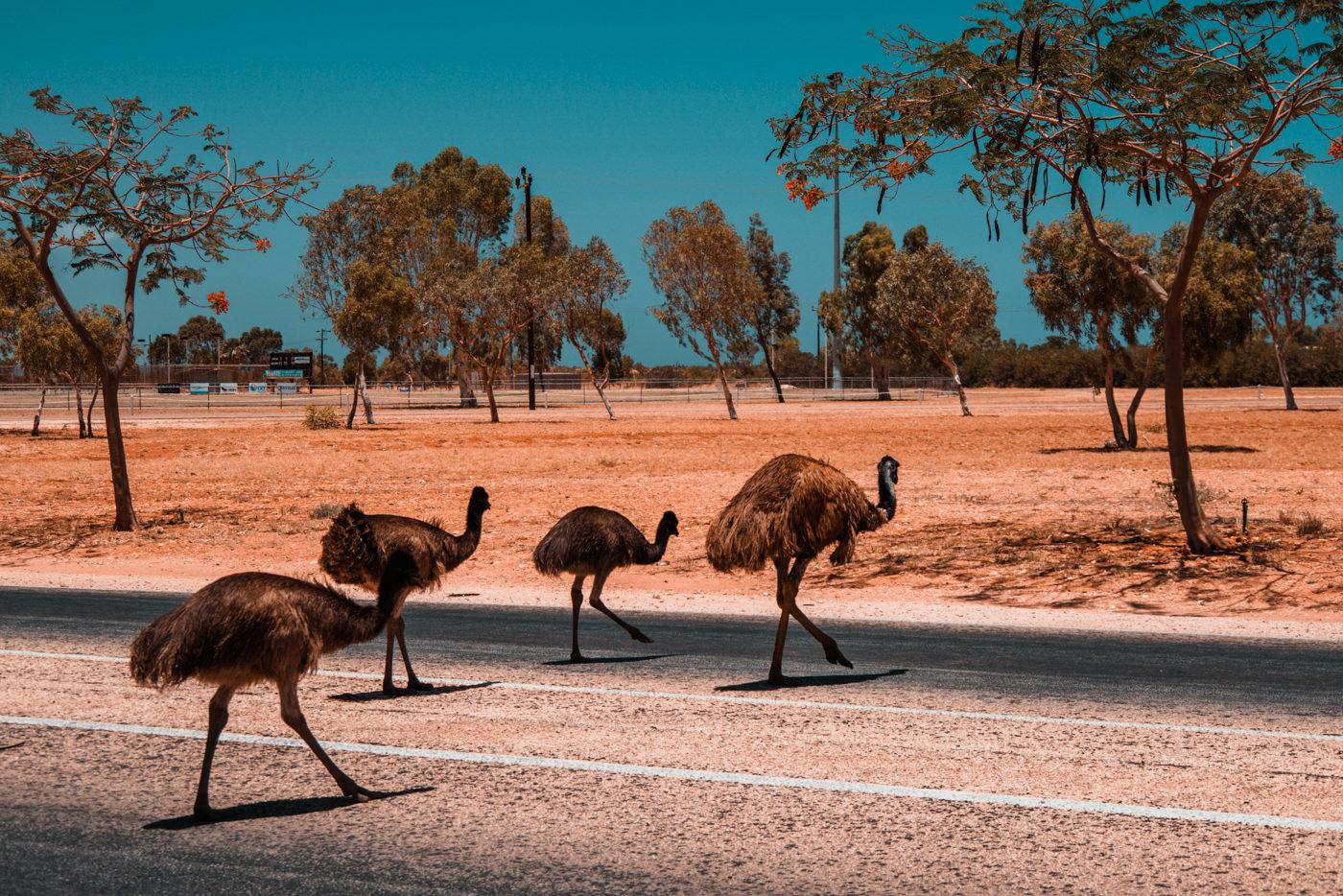 Emus überqueren die Straße in Exmouth
