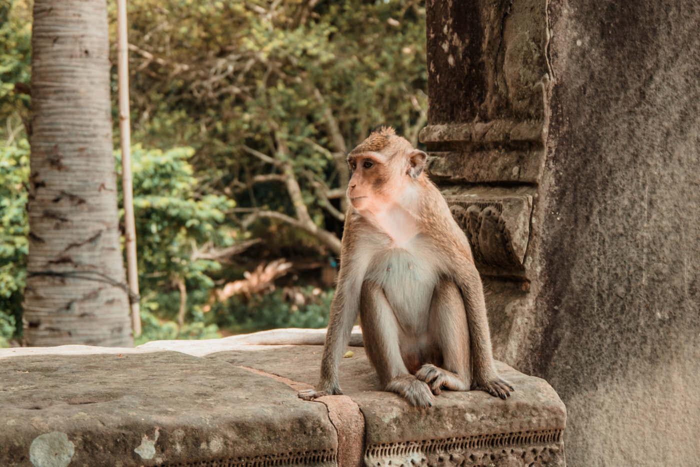 Affe vor dem Eingang zu Angkor Wat