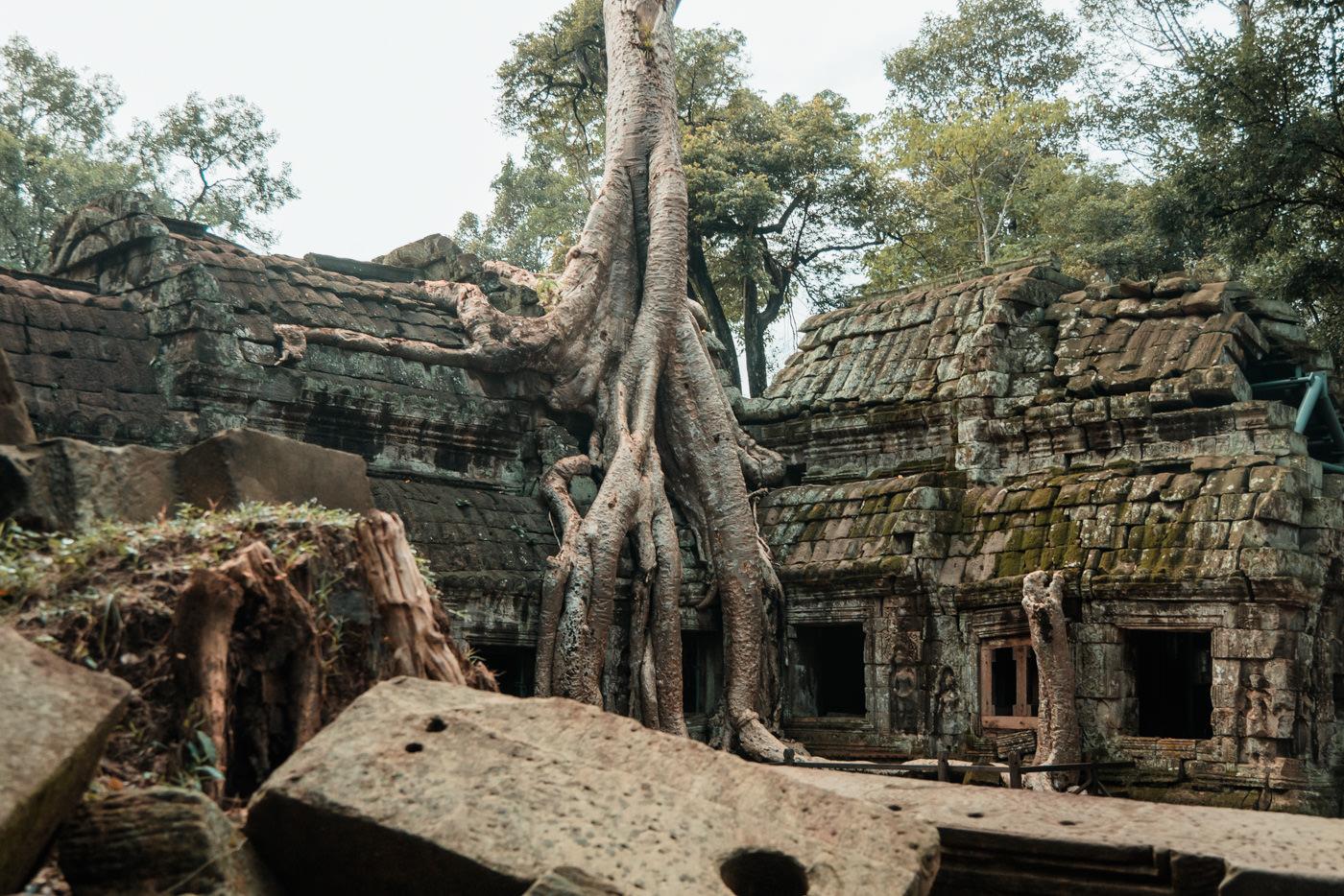 Baum im Ta Prohm Tempel, Angkor Wat, Kambodscha