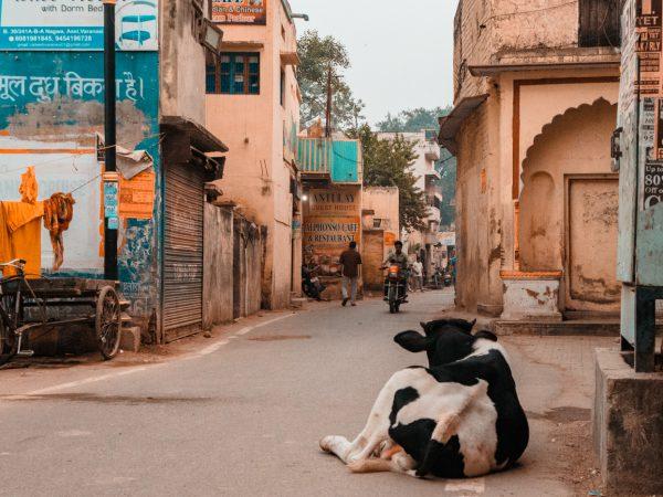 Kuh auf der Straße in Varanasi