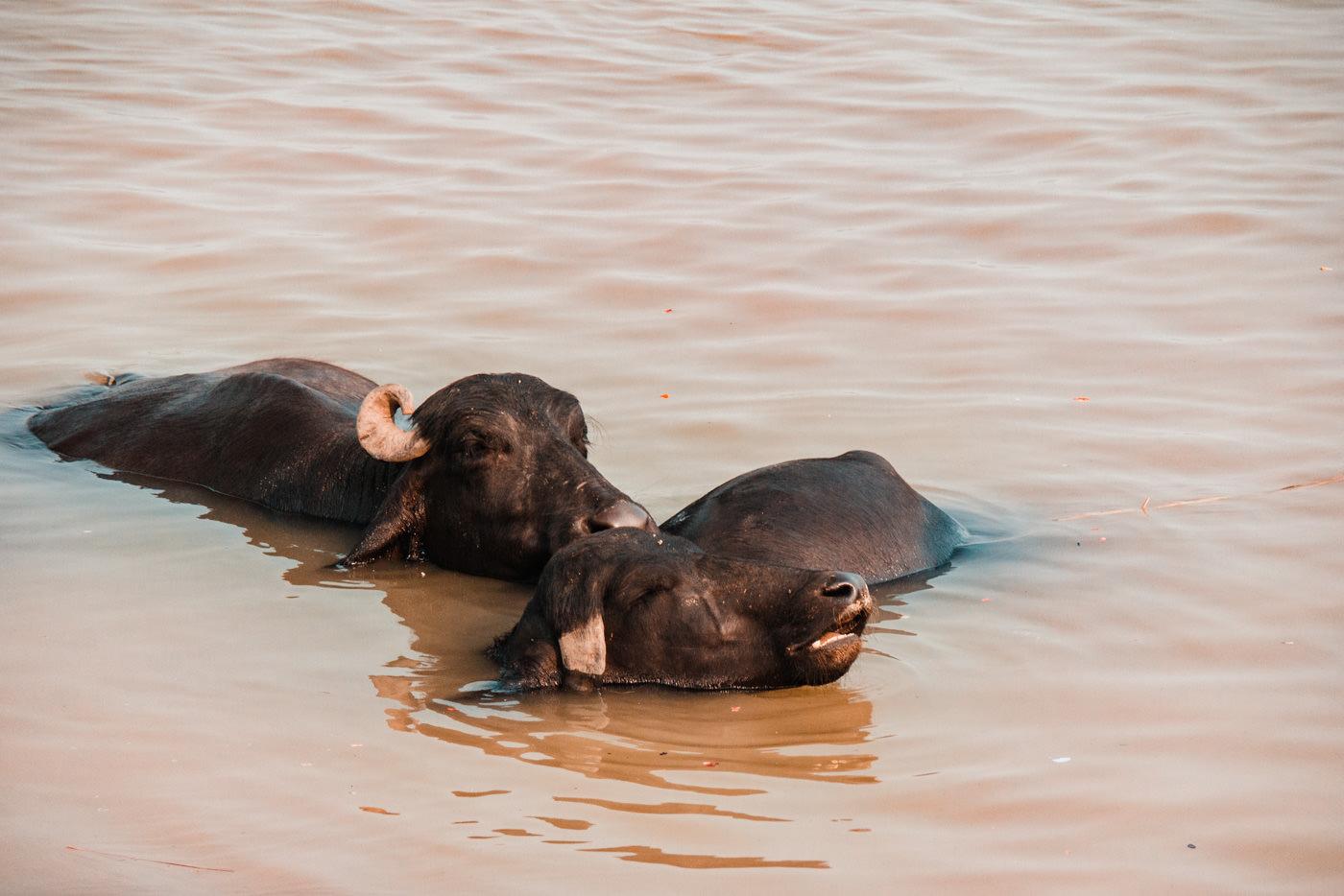 Büffel baden im Ganges